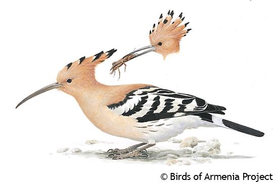 Eurasian Hoopoe A Field Guide To Birds Of Armenia Acopian Center For The Environment