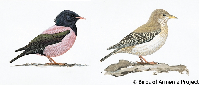 Rose-coloured Starling