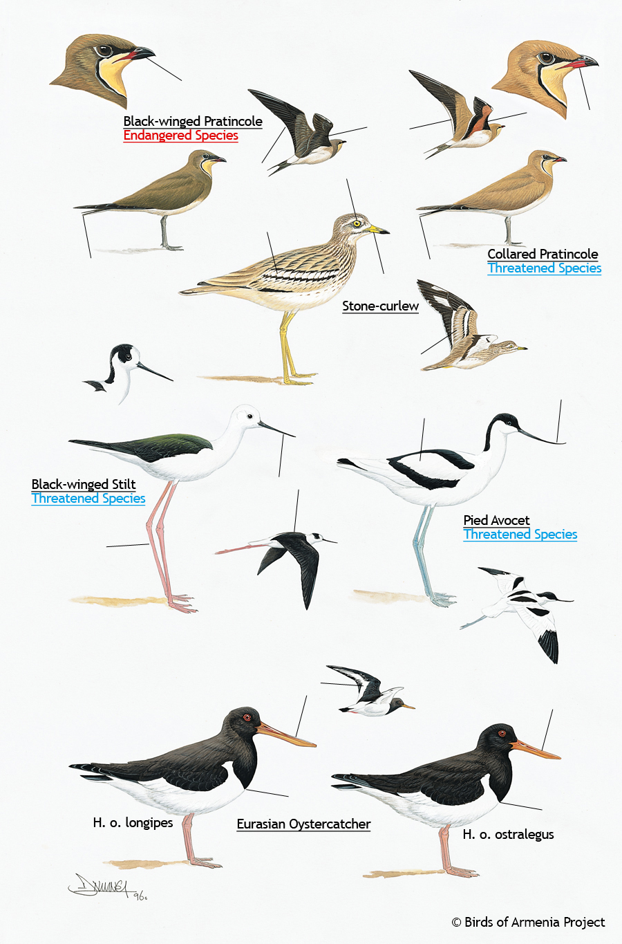 Pratincoles, curlews, avocets, stilts and oystercatchers