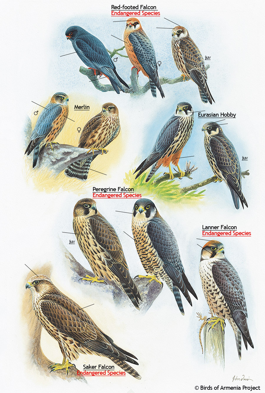 Falcons, Merlins and Hobbys