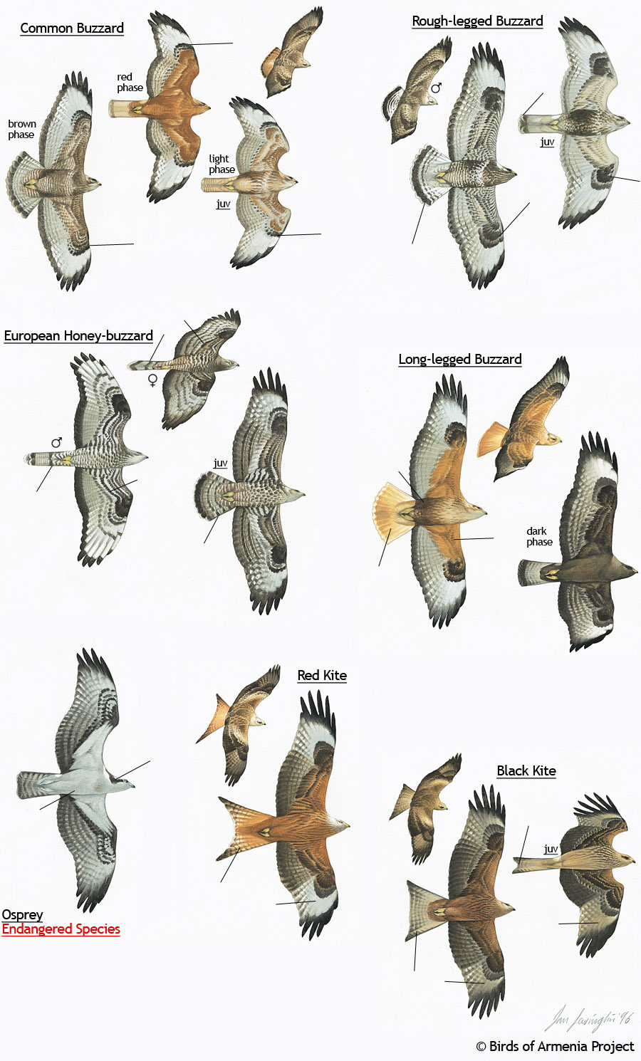 Plate 13 Buzzards Kites And Osprey A Field Guide To