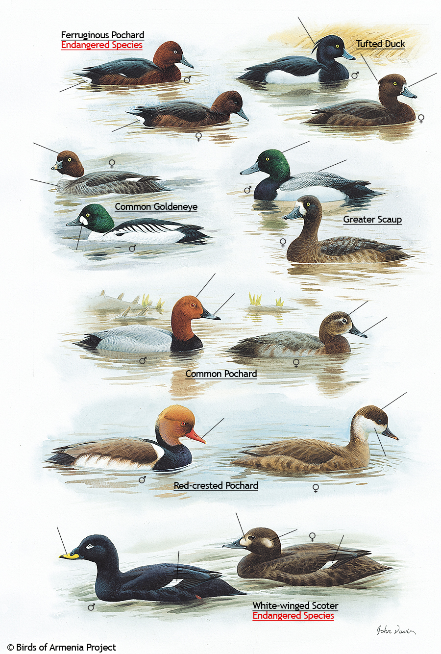 Pochards, Tufted Ducks, Goldeneyes, Scaups, and Scoters