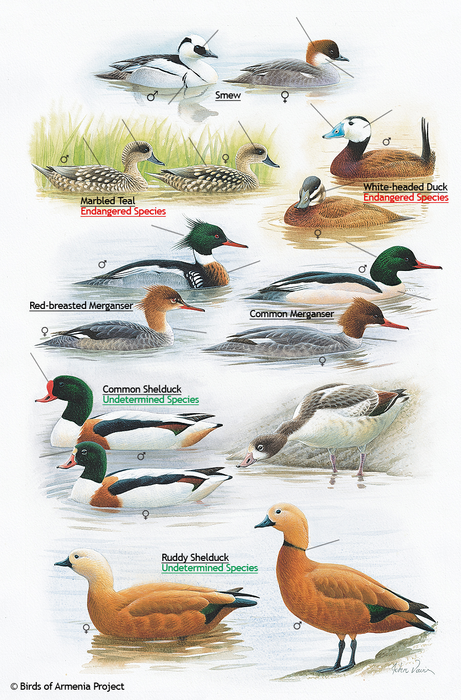 Smews, Teals, Ducks, Mergansers, and Shelducks