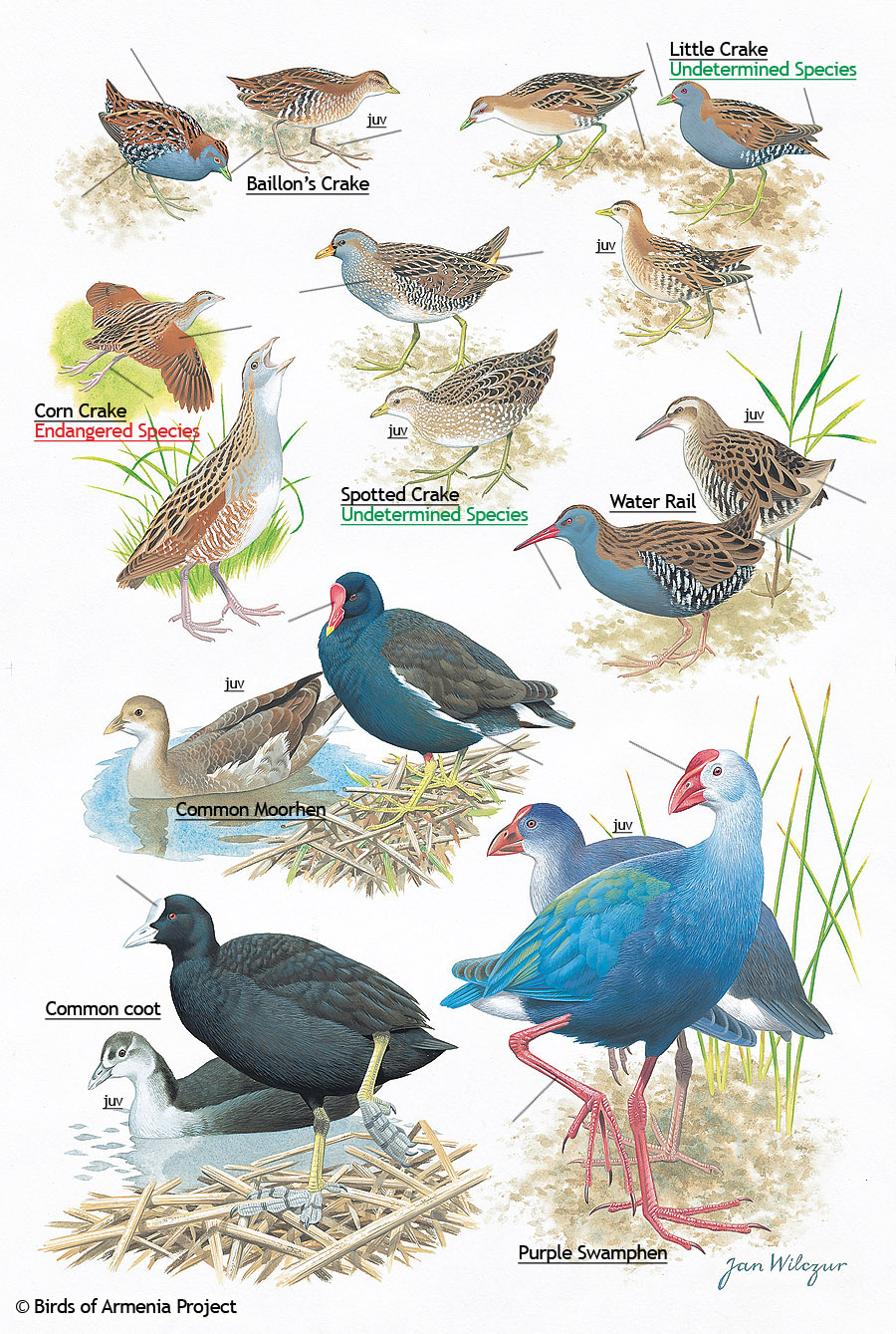 Moorhens And Coots