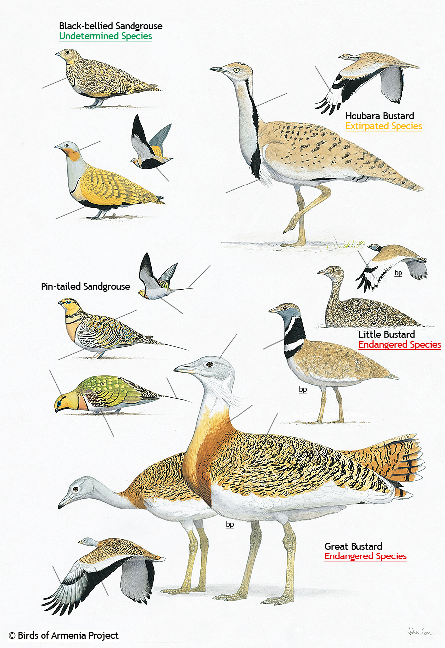 Sandgrouse and Bustards