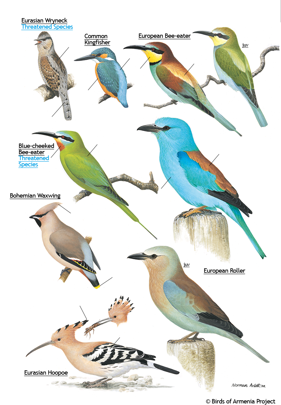 Wrynecks, kingfishers, bee-eaters, waxwings, rollers and hoopoes