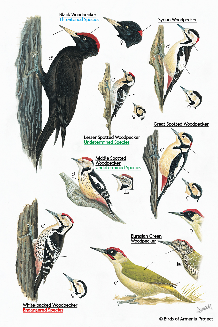 Plate 38 Woodpeckers A Field Guide To Birds Of Armenia