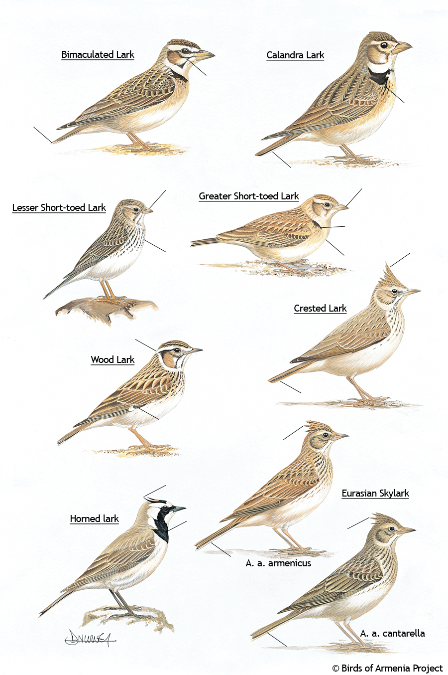 Larks and skylarks