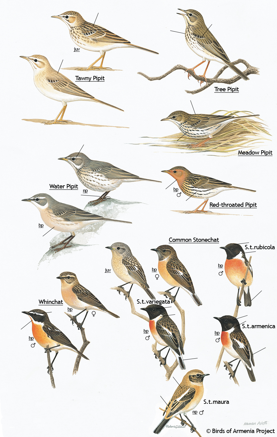 Pipits, stonechats and whinchats
