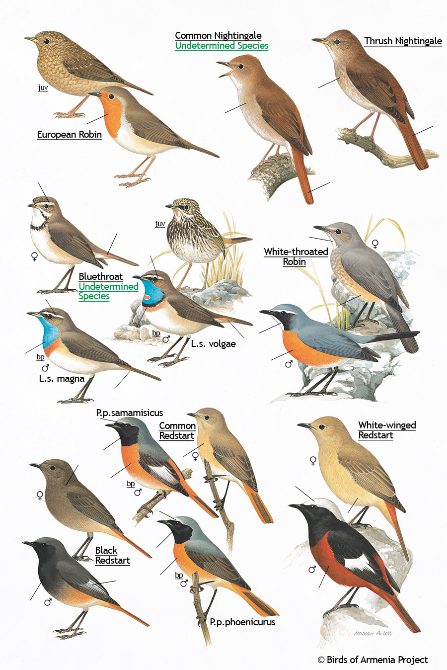Robins, Nightingales, Bluethroats and Redstarts