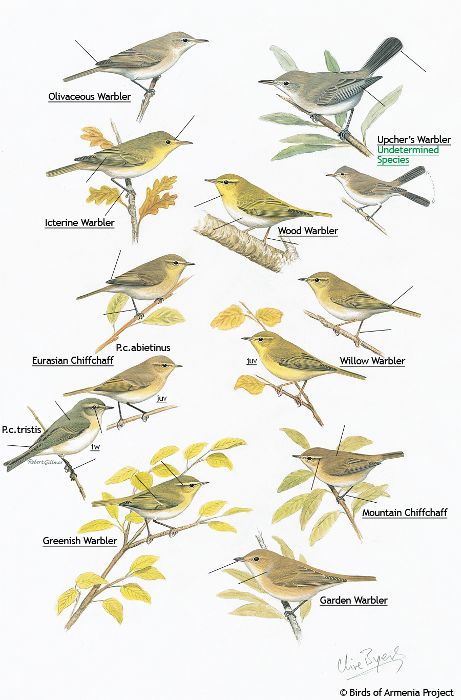 Warblers and Chiffchaffs