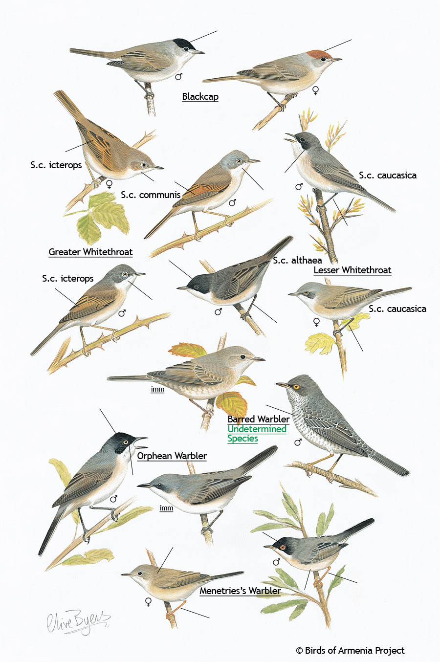 Blackcaps, Whitethroats and Warblers