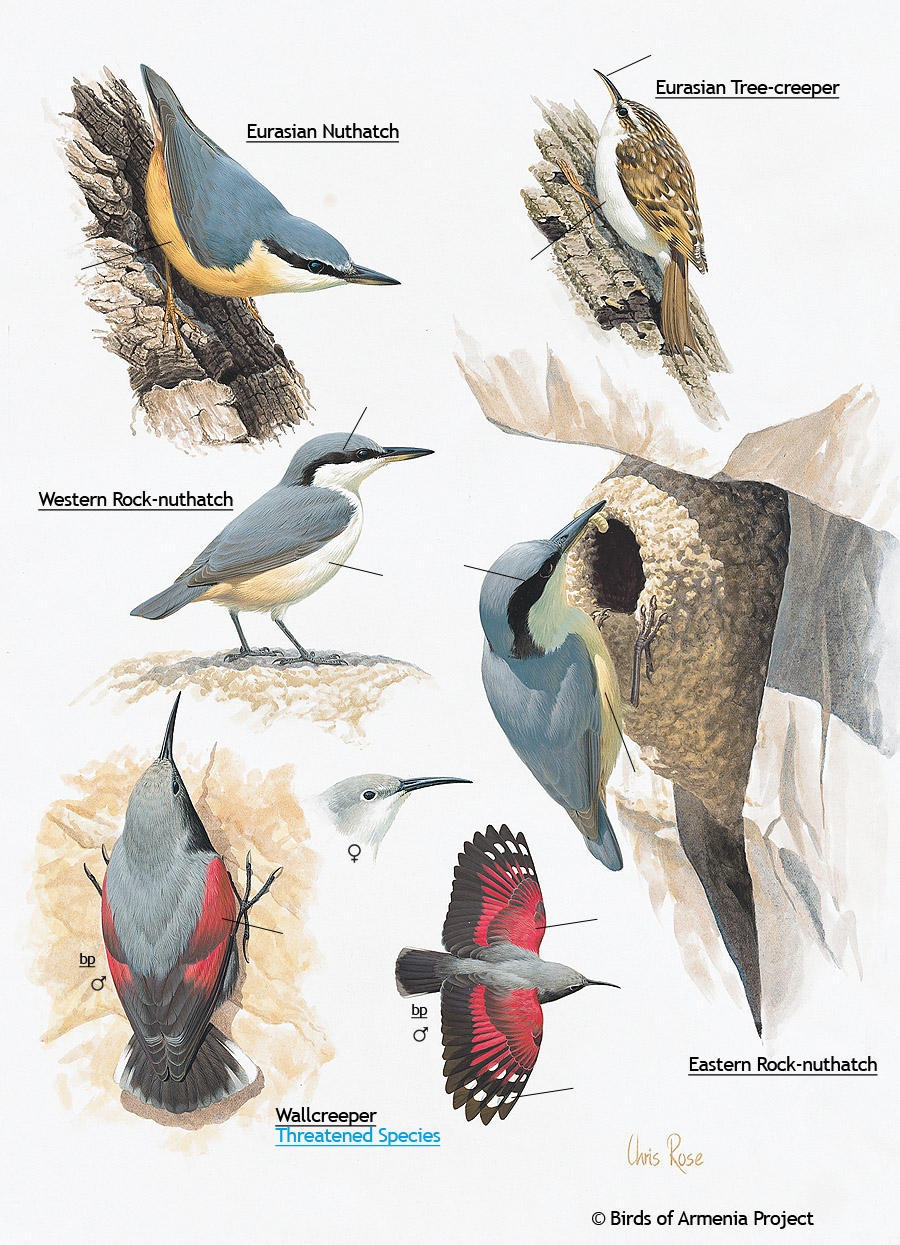 Nuthatches, Tree-creepers and Wallcreepers