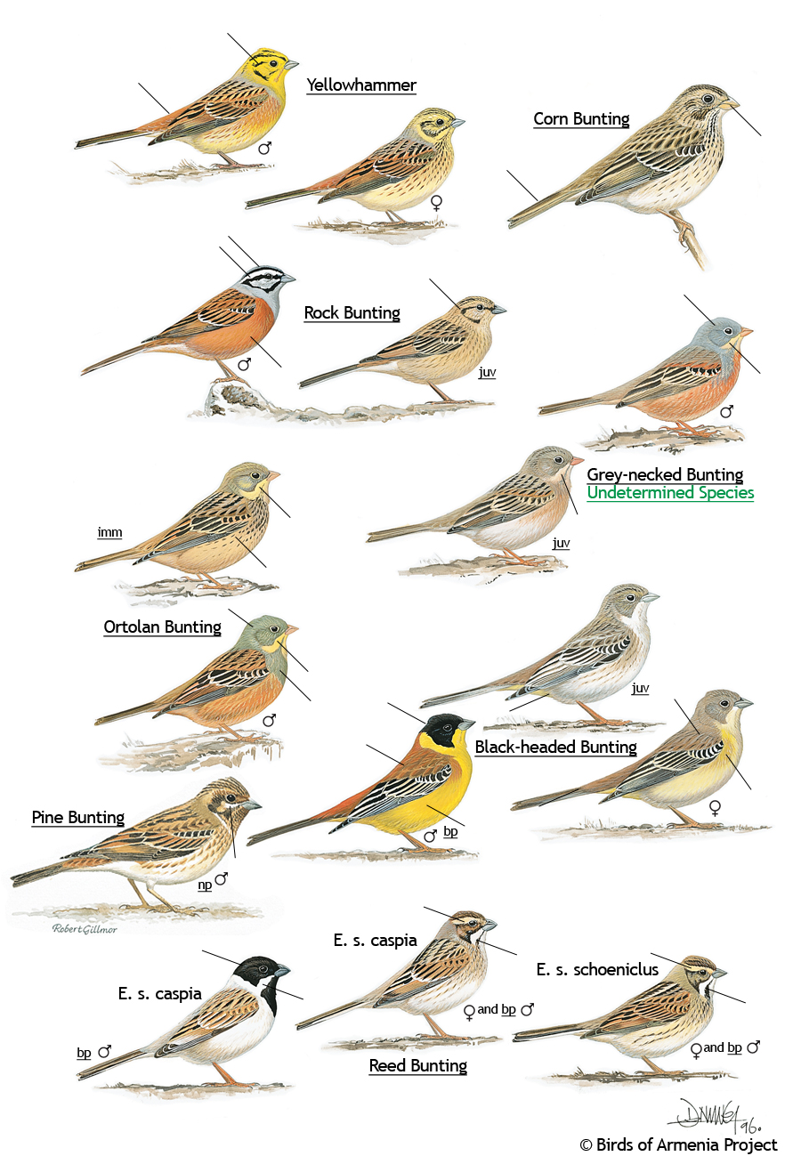 Yellowhammers and Buntings