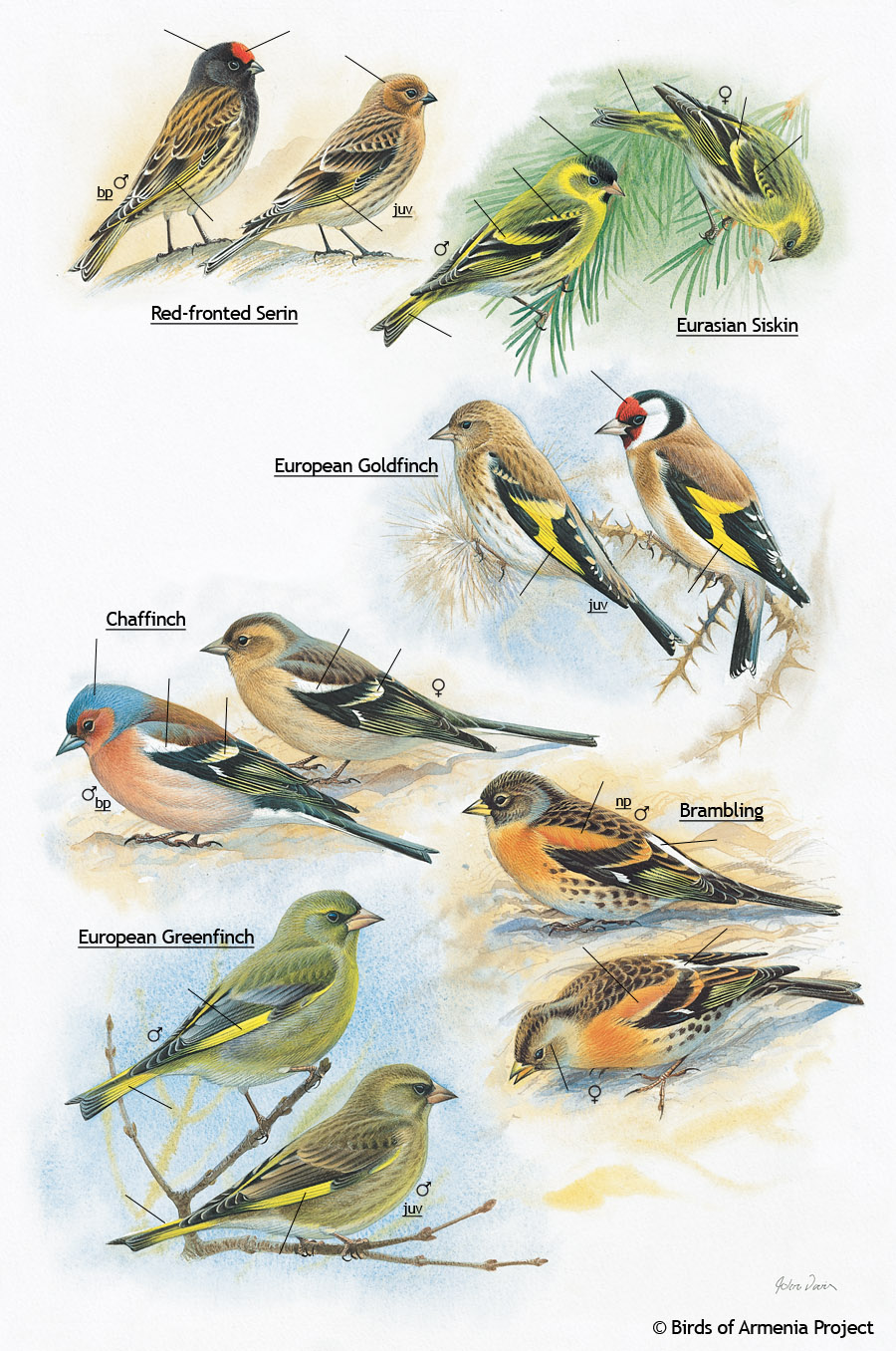 Serins, Siskins, Goldfinches, Chaffinches, Greenfinches and Bramblings