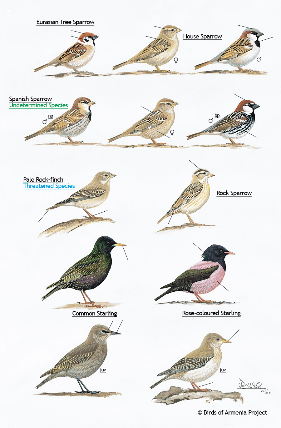 Sparrows, Rockfinches and Starlings