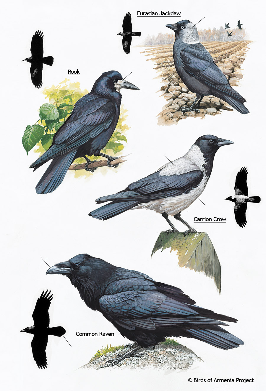 Jackdaws, Rooks, Crows and Ravens