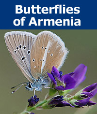 Donation - Butterflies of Armenia