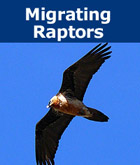 Donation - Migrating Raptors